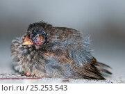 Купить «Small ground finch (Geospiza fuliginosa) resting on ground. Santa Cruz Island, Galapagos, June.», фото № 25253543, снято 26 июня 2019 г. (c) Nature Picture Library / Фотобанк Лори