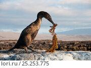 Купить «Flightless Cormorant (Nannopterum / Phalacrocorax harrisi) with nesting material. Banks Bay, Isabela Island, Galapagos Islands, Ecuador, December.», фото № 25253775, снято 26 июня 2019 г. (c) Nature Picture Library / Фотобанк Лори