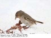 Купить «Green warbler finch (Certhidea olivacea) foraging for seeds, Gardner Bay, EspanÞola (Hood) Island, Galapagos Islands, Ecuador, June.», фото № 25254575, снято 26 июня 2019 г. (c) Nature Picture Library / Фотобанк Лори