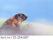 Alpine marmot (Marmota marmota) in mist, Hohe Tauern National Park, Austria, July. Стоковое фото, фотограф Edwin Giesbers / Nature Picture Library / Фотобанк Лори