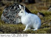 Купить «Arctic hare (Lepus arcticus), Ellesmere Island, Nunavut, Canada, June 2012.», фото № 25255319, снято 20 октября 2018 г. (c) Nature Picture Library / Фотобанк Лори