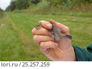Hand holding bird with ring, caught in net for ringing in an allotment, Grande-Synthe, Dunkirk, France, September 2010, model released. Стоковое фото, фотограф Wild Wonders of Europe / Préau / Nature Picture Library / Фотобанк Лори