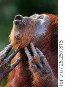 Купить «Bornean Orangutan (Pongo pygmaeus wurmbii) female 'Tutut' scratching throat. Camp Leakey, Tanjung Puting National Park, Central Kalimantan, Borneo, Indonesia...», фото № 25257815, снято 22 марта 2019 г. (c) Nature Picture Library / Фотобанк Лори