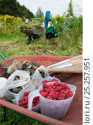 Купить «Raspberry harvest in tubs in wheelbarrow, Old Sleningford Community Farm, North Yorkshire, England, UK, September 2011.», фото № 25257951, снято 23 апреля 2018 г. (c) Nature Picture Library / Фотобанк Лори