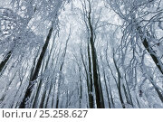 Купить «Beech (Fagus sylvatica) woodland trees covered with hoar frost. West Woods, Compton Abbas, Dorset, England, UK, December.», фото № 25258627, снято 16 августа 2018 г. (c) Nature Picture Library / Фотобанк Лори