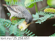Купить «Small ground finch (Geospiza fuliginosa) feeding on flower spike. Santa Cruz Island, Galapagos, December.», фото № 25258651, снято 26 июня 2019 г. (c) Nature Picture Library / Фотобанк Лори