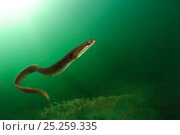 Купить «European eel (Anguilla anguilla) Lake Stechlin, Germany», фото № 25259335, снято 13 февраля 2020 г. (c) Nature Picture Library / Фотобанк Лори
