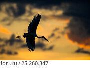 Купить «Saddlebill stork (Ephippiorhynchus senegalensis) in flight, silhouetted at sunrise, Okavango Delta, Botswana, November.», фото № 25260347, снято 20 июня 2019 г. (c) Nature Picture Library / Фотобанк Лори