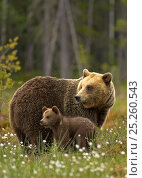 Купить «Brown Bear (Ursus arctos) and cub. Finland, Europe, June.», фото № 25260543, снято 17 сентября 2018 г. (c) Nature Picture Library / Фотобанк Лори