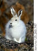 Купить «Arctic hare (Lepus arcticus), Ellesmere Island, Nunavut, Canada, June 2012.», фото № 25260747, снято 20 октября 2018 г. (c) Nature Picture Library / Фотобанк Лори