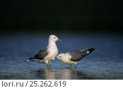 Купить «Two Mew / Common gulls (Larus canus) one pecking other, Finnmark, Norway, May», фото № 25262619, снято 24 февраля 2018 г. (c) Nature Picture Library / Фотобанк Лори