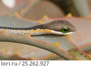 Купить «Boomslang (Dispholidus typus) neonate snake on aloe. deHoop Nature Reserve, Western Cape, South Africa.», фото № 25262927, снято 15 декабря 2017 г. (c) Nature Picture Library / Фотобанк Лори