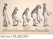 Купить «Illustartion of series of primate skeletons, the frontis engraving by Waterhouse Hawkins from the first edition of Huxley's 1863 'Evidences as to Man's...», фото № 25263551, снято 25 апреля 2018 г. (c) Nature Picture Library / Фотобанк Лори