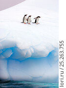 Купить «Three Gentoo Penguins (Pygoscelis papua) standing at the edge of sea ice. Antarctic Peninsula, January. Book plate from Mark Carwardine's Ultimate Wildlife Experiences.», фото № 25263755, снято 25 мая 2018 г. (c) Nature Picture Library / Фотобанк Лори