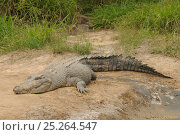 Купить «Saltwater crocodile (Crocodylus porosus) basking in sun, Queensland, Australia», фото № 25264547, снято 15 октября 2019 г. (c) Nature Picture Library / Фотобанк Лори