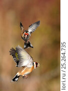 Купить «Goldfinches (Carduelis carduelis) squabbling near seed feeder, Berwickshire, Scotland, April», фото № 25264735, снято 5 июня 2020 г. (c) Nature Picture Library / Фотобанк Лори