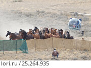 Купить «Wild horses / Mustangs, group herded into corral by helicopter, Great Divide Basin, Wyoming, USA, October 2011», фото № 25264935, снято 23 мая 2018 г. (c) Nature Picture Library / Фотобанк Лори