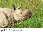 Купить «Indian / Greater One-horned Rhinoceros (Rhinoceros unicornis) in profile. Kaziranga National Park, Assam, north India. Book plate from Mark Carwardine's Ultimate Wildlife Experiences.», фото № 25264983, снято 25 мая 2018 г. (c) Nature Picture Library / Фотобанк Лори
