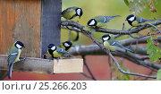 Купить «Great tits (Parus major) around bird feeder, Uto, Finland, October», фото № 25266203, снято 21 января 2019 г. (c) Nature Picture Library / Фотобанк Лори