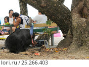 Купить «Southern cassowary (Casuarius casuarius) female feeding on picnic scraps at beach, North Queensland, Australia», фото № 25266403, снято 16 октября 2019 г. (c) Nature Picture Library / Фотобанк Лори