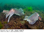 Купить «Two pairs of mating Common cuttlefish (Sepia officinalis) the two large males show off their stripy colouration as they protect their females during the...», фото № 25266947, снято 22 июня 2018 г. (c) Nature Picture Library / Фотобанк Лори