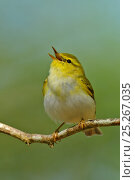 Купить «Wood Warbler (Phylloscopus sibilatrix) singing from perch. Wales, April.», фото № 25267035, снято 5 июня 2020 г. (c) Nature Picture Library / Фотобанк Лори