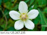 Купить «Grass of parnassus (Parnassia palustris) flower, Caithness, Scotland, July», фото № 25267235, снято 15 декабря 2017 г. (c) Nature Picture Library / Фотобанк Лори
