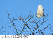 Купить «Snowy owl (Bubo scandiaca) perched on branch, Quebec, Canada, March», фото № 25268067, снято 2 июня 2020 г. (c) Nature Picture Library / Фотобанк Лори