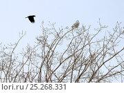 Купить «Carrion crow (Corvus corone) mobbing a Snowy owl (Bubo scandiaca) perched on branch, Canada, Quebec, February», фото № 25268331, снято 10 июля 2020 г. (c) Nature Picture Library / Фотобанк Лори