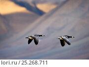 Купить «Two Barnacle geese (Branta leucopsis) in flight, Spitsebergen, Svalbard, Norway, August», фото № 25268711, снято 26 марта 2019 г. (c) Nature Picture Library / Фотобанк Лори