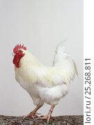White Gatinaise Hen, cock, studio portrait. Стоковое фото, фотограф Yves Lanceau / Nature Picture Library / Фотобанк Лори