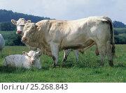 Купить «Domestic cattle (Bos taurus) Charolais cow, bull and calf, France», фото № 25268843, снято 17 августа 2018 г. (c) Nature Picture Library / Фотобанк Лори