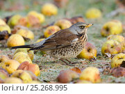 Купить «Fieldfare (Turus pilaris) on frosty ground among wind fallen apples. Hertfordshire, England, UK, January.», фото № 25268995, снято 22 февраля 2019 г. (c) Nature Picture Library / Фотобанк Лори