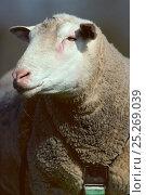 Купить «Domestic sheep (Ovis aries), Berrichon du Cher Sheep, ram, France», фото № 25269039, снято 15 августа 2018 г. (c) Nature Picture Library / Фотобанк Лори