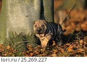 Купить «Domestic dog, Shar Pei / Chinese fighting dog, tan puppy amongst autumn leaves, France», фото № 25269227, снято 25 мая 2019 г. (c) Nature Picture Library / Фотобанк Лори