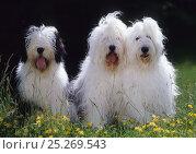 Купить «Domestic dog, Old English Sheepdog / Bobtail, three sitting in row, France», фото № 25269543, снято 28 мая 2018 г. (c) Nature Picture Library / Фотобанк Лори