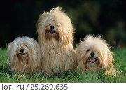 Купить «Havanese / Havana Silk Dog, three in garden, France», фото № 25269635, снято 25 мая 2019 г. (c) Nature Picture Library / Фотобанк Лори