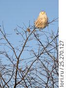 Купить «Snowy owl (Bubo scandiaca) perched on branch, Quebec, Canada, February», фото № 25270127, снято 2 июня 2020 г. (c) Nature Picture Library / Фотобанк Лори
