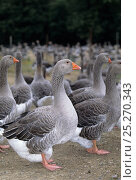 Купить «Domestic goose (Anser anser domesticus) group of intensive farmed Toulouse geese, standing together, France.», фото № 25270343, снято 7 июля 2020 г. (c) Nature Picture Library / Фотобанк Лори