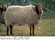 Купить «Domestic sheep (Ovis aries), Solognot, ram with thick wool, France», фото № 25270767, снято 15 августа 2018 г. (c) Nature Picture Library / Фотобанк Лори