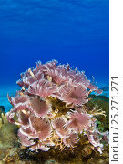 Купить «Feather duster worms (Bispira brunnea) colony extended and filter feeding in the clear blue waters of The Bahamas, Caribbean Sea.», фото № 25271271, снято 18 августа 2018 г. (c) Nature Picture Library / Фотобанк Лори