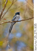 Купить «Malagasy paradise flycatcher (Terpsiphone mutata)white phase, male perched on branch, Madagascar.», фото № 25271935, снято 5 июня 2020 г. (c) Nature Picture Library / Фотобанк Лори