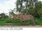 Купить «Leopard (Panthera pardus) low angle view of adult on the prowl, Okavango Delta, Botswana», фото № 25272699, снято 24 февраля 2020 г. (c) Nature Picture Library / Фотобанк Лори