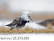 Купить «Ruff displaying (Philomachus pugnax) Agapa River, Taimyr Peninsula, Siberia, Russia», фото № 25273055, снято 13 октября 2019 г. (c) Nature Picture Library / Фотобанк Лори