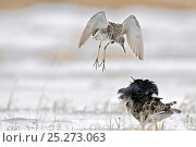 Купить «Ruffs displaying (Philomachus pugnax) Agapa River, Taimyr Peninsula, Siberia, Russia», фото № 25273063, снято 17 октября 2019 г. (c) Nature Picture Library / Фотобанк Лори