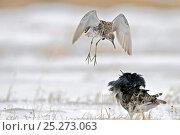 Купить «Ruffs displaying (Philomachus pugnax) Agapa River, Taimyr Peninsula, Siberia, Russia», фото № 25273063, снято 13 октября 2019 г. (c) Nature Picture Library / Фотобанк Лори