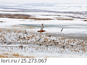 Купить «Bar tailed godwit (Limosa lapponica) in flight amongst a flock of mixed waders, Agapa River, Taimyr Peninsula, Siberia, Russia, June», фото № 25273067, снято 30 января 2020 г. (c) Nature Picture Library / Фотобанк Лори