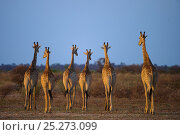Купить «Giraffe (Giraffa camelopardalis) group of six walking across dry landscape, Okavango Delta, Botswana», фото № 25273099, снято 16 июня 2019 г. (c) Nature Picture Library / Фотобанк Лори