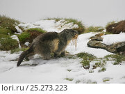 Alpine marmots (Marmota marmota) carrying dried grass, Hohe Tauern National Park, Austrian Alps, Austria, May. Стоковое фото, фотограф Konstantin Mikhailov / Nature Picture Library / Фотобанк Лори