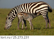 Burchell's Zebra (Equus quagga) mother suckling her new born foal. Masai Mara, Kenya. Стоковое фото, фотограф Andy Rouse / Nature Picture Library / Фотобанк Лори